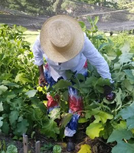 Farmer Gigi Harvesting Eggplants